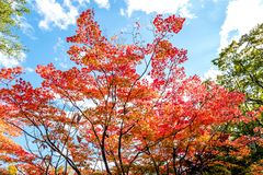 Maple tree color change in autumn season beautiful red orange green maple trees against clear cloud blue sky background in autumn  Royalty Free Stock Image