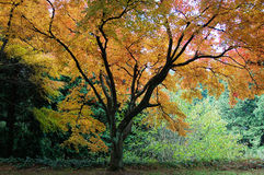 A maple tree with colorful leaves in fall Royalty Free Stock Images