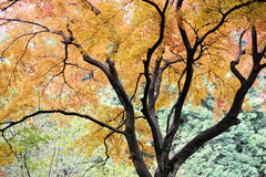 A maple tree with colorful leaves in fall Stock Photos