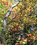 Maple tree colors Stock Photography