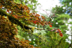 Maple tree covered detail in moss Royalty Free Stock Photography