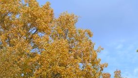 Maple tree crown in sunlight. Lush foliage of yellow maple on blue sky background in sunny windy autumn day stock footage