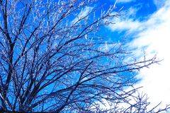 Maple tree with crystal icicles hanging from branches. Weather spring calamity in Canada. Ice sprouts in the cold spring. Melting stock photo