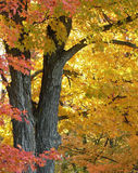 Maple Tree. This is a digital photo taken of a maple tree in its autumn splendor and located in my own northern Michigan backyard Royalty Free Stock Images