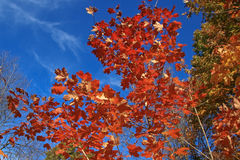 Maple Tree in Fall Royalty Free Stock Photos