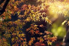 Maple tree fall Stock Photos