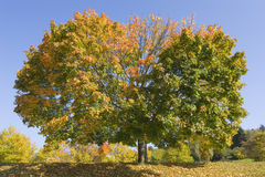 Maple tree in fall Stock Photos