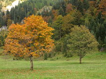 Maple tree at fall in Ahornboden valley Stock Image