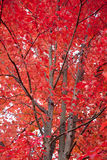 Maple Tree in Fall Royalty Free Stock Photography