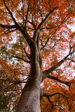A maple tree during fall in California stock photo