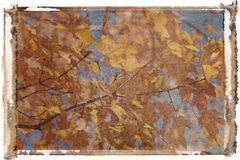 Maple tree in Fall color. Stock Images