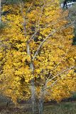 Maple tree in the fall. A maple tree in the fall with yellow leaves and bare trees in the front of it royalty free stock images