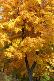 Maple tree at fall Stock Photo