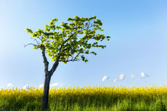 Maple tree in field Royalty Free Stock Photos