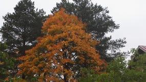 Maple tree foliage. Finnish foliage maple tree royalty free stock photo