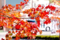 Maple tree in front house and car, maple leaves turn color from green to yellow, orange and bright red, the house background in se. Ason change of fall , autumn royalty free stock photos