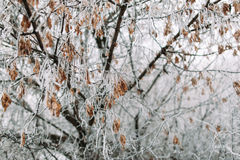 Maple tree in frosty winter day Royalty Free Stock Photos