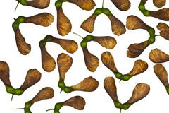 Maple tree fruit Royalty Free Stock Images