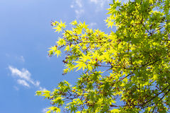Maple tree and fruits on blue sky background Stock Image