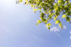 Maple tree and fruits on blue sky background Royalty Free Stock Photos