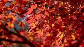 Red Maple leaves in Autumn. royalty free stock image