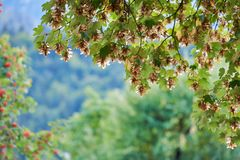 Maple tree with green leaves. Beautiful landscape. Green color and spectacular bokeh. stock image