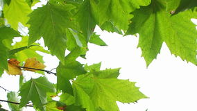 Maple Tree Green Leaves. Fresh maple tree leaves gently swaying on wind on the white background stock footage