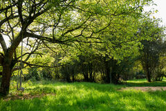 Maple tree in green meadow Stock Images