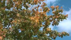 Maple tree. stock video