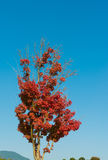 Maple tree that impending autumn leaves. This is a maple tree that impending autumn leaves Royalty Free Stock Photo