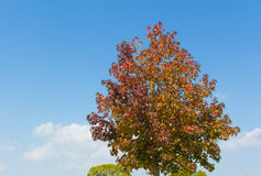Maple tree that impending autumn leaves Royalty Free Stock Image