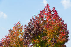Maple tree that impending autumn leaves. This is a maple tree that impending autumn leaves Royalty Free Stock Photography