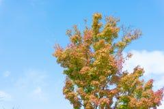 Maple tree that impending autumn leaves Stock Photos