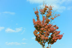 Maple tree that impending autumn leaves. This is a photo of a maple tree that impending autumn leaves Stock Photography