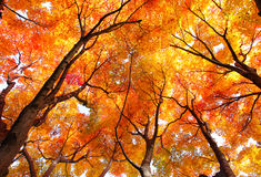 Free Maple Tree In Autumn Royalty Free Stock Image - 41236206
