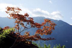 Maple tree in Interlaken, Switzerland Royalty Free Stock Image