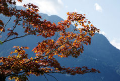 Maple tree in Interlaken, Switzerland Royalty Free Stock Photography