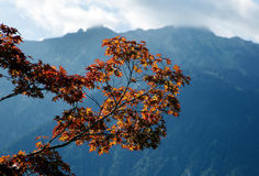 Maple tree in Interlaken, Switzerland Royalty Free Stock Images