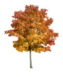 Maple tree isolated. Autumn Maple tree isolated on a white background stock images
