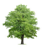 Maple Tree Royalty Free Stock Image