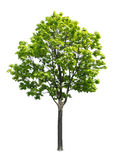 Maple tree. Isolated on a white background stock images