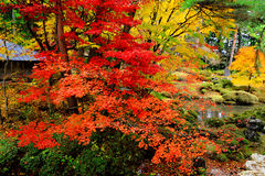 Maple tree in Japanese garden Stock Image