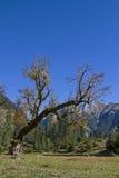 Maple tree in Karwendel mountains Royalty Free Stock Photo