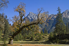 Maple tree in Karwendel mountains Stock Images