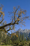Maple tree in Karwendel mountains. Bizarrely yellowed maple tree with the peaks of the Falk Group in Karwendel mountains Stock Photos