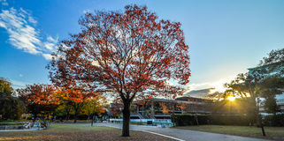 Maple Tree in Kyoto, Japan Royalty Free Stock Photography