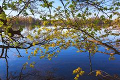 Maple tree at the lake Stock Photography