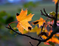 Maple tree leaf in autumn Stock Images