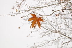 A maple tree leaf Royalty Free Stock Photography