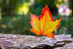 One maple tree leaf red and yellow blurred background royalty free stock photography